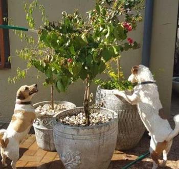 Pet Sitting in Irene | House Sitting in Irene - 2 Dog watching us water the garden
