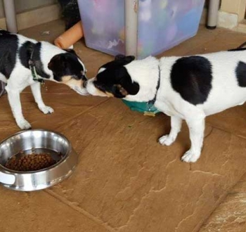 Pet Sitting in Irene | House Sitting in Irene - Dogs kissing each other