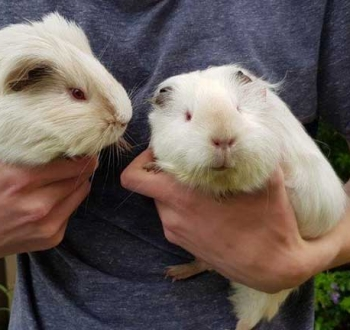 Pet Sitting in Irene   House Sitting in Irene - 2 guinea pigs in hand