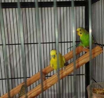 Pet Sitting in Irene | House Sitting in Irene - 2 Parrots in cage