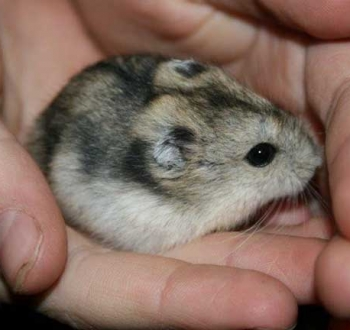 Pet Sitting in Irene   House Sitting in Irene - hamster in hand