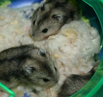 Pet Sitting in Irene   House Sitting in Irene - 2 hamsters in wheel