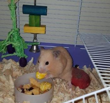 Pet Sitting in Irene   House Sitting in Irene - Hamster eating